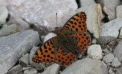Tra i sassi (lincerosso) Tags: farfalle butterflies estate montepizzoc argynnisadippe bellezza armonia eleganza
