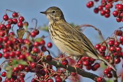 MEADOW PIPIT / OARE MARSHES / KENT / U.K (Tom Webzell) Tags: naturethroughthelens