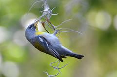 Chin-Ups in the Morning (PeterBrannon) Tags: tampa nikon florida bokeh dangling webs songbird warblers northernparula 2013