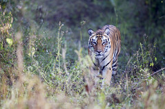 tiger - india (Emmanuel Catteau photography) Tags: park travel india male tourism forest cat big holidays photographer tiger safari national journey conde geo rare geographic emmanuel nast pradesh traveler madhya kanha catteau wwwemmanuelcatteaucom