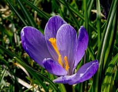 Crocus (cotarr) Tags: leica flowers purple crocus geotag chicagobotanicgarden cameraraw temp1 cs6 vlux3 eveningisland cbgflowers manualgeotag topazdenoise topazdetail