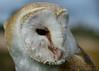 Barn Owl (Stephen Whittaker) Tags: nikon d5100 whitto27