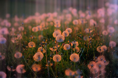 Blurry Vison, (Explore) (mynewpicture) Tags: flowers sunrise canon kentucky eos5dmarkii klausficker