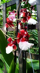 "orchids ""Dancing Ladies"" (joybidge (back from vacation)) Tags: orchid orchids aruba naturepatternscanada trishcanada flickrandroidapp:filter=none"