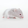 Loðholts Nala (astakatrin) Tags: baby white black yellow babies dove background cream tortoiseshell calico hamster re syrian banded hamsterbaby hamsterbabies umbrous