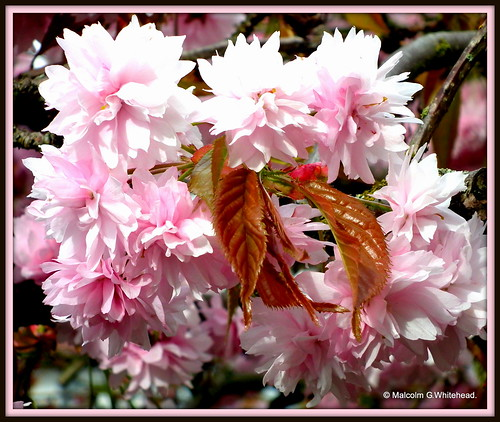Japanese cherry  (  Prunus