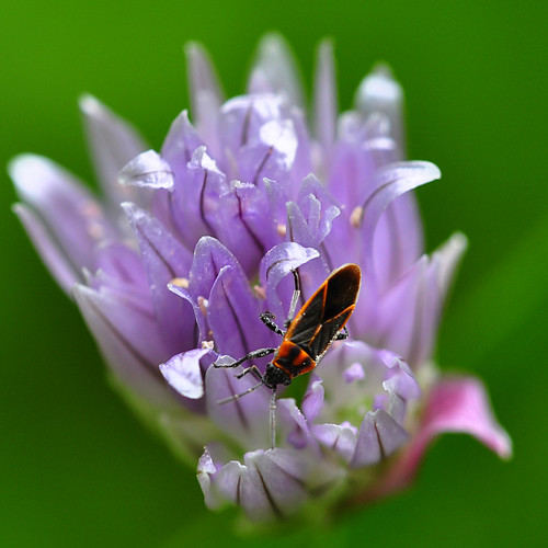 Bloom of chives and pollinator