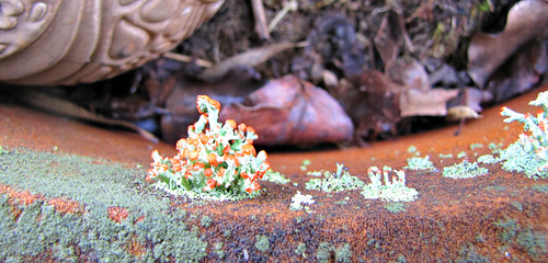 flowering lichen photo
