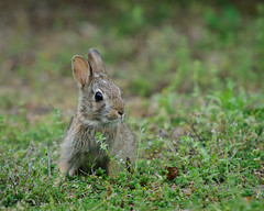 Bunny (MissTessmacher) Tags: rabbit bunny animal nikon teleconverter 2x d90 primehooknationalwildliferefuge 70200f28vrii tc20eiii