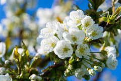 Cherry Blossom (ThereisMagicWithin) Tags: flowers colors cherry flow nikon blossom d3 d3100