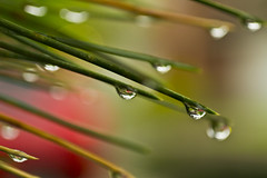 2013: 141/365 (runningman1958) Tags: macro tree water rain pinetree pine droplets nikon bokeh drop pineneedles needle droplet 365 needles 365dayproject raynoxdcr250macro nikond3100