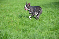 Dogs @IMA, 09-30-2012 111 (Hazel the Boston Terrier) Tags: boston terrier hazel indianapolismuseumofart