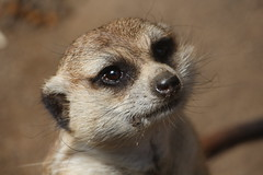 Please Sir, I Want Some More. (peasap) Tags: california brown mammal nose march spring eyes meerkat sandiego whiskers stare begging 2013