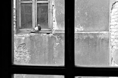 ... (Giulia van Pelt) Tags: italy white black window italia sill pigeon finestra e tuscany perched through toscana bianco nero piccione garfagnana castelnuovo attraverso davanzale appollaiato
