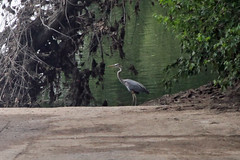 Great Blue Heron at Snyder's Landing (LostBob Photos) Tags: potomacriver greatblueheron cocanal