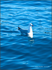 Red billed gull (Mike Parfitt) Tags: birds coastal