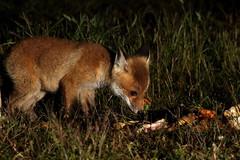 Nocturnal Fox Kit (baby fox) (Tyrone Williams) Tags: nightphotography animal night nocturnal wildlife fox 7d foxes vixen redfox foxcub strobist canon7d feedingfoxes