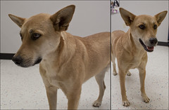 Willow The 3 Year Old Carolina Dog (Immature Animals) Tags: rescue baby animal willow bark heeler koalition barktucson immatureanimals