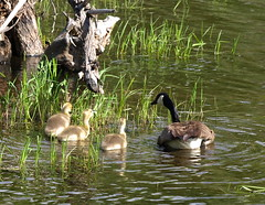 Canada Goose and Fledglings (Evergreen Audubon) Tags: baby