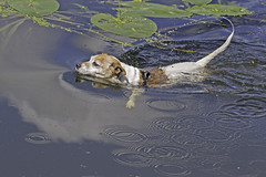 It Was A Very Warm Day! - 52 Weeks For Dogs, 30/52 (me'nthedogs) Tags: swimming jrt terrier snaps jackrussell 3052 52weeksfordogs