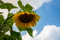 Sunflower (MikeyMcInnis) Tags: sunflower clouds summer nature photography gloom seeded sorrow art natural off