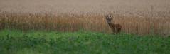 roe deer (Bart Hardorff) Tags: thenetherlands deer dordrecht juli roedeer biesbosch reebok ree 2016 capreoluscapreolus dordtsebiesbosch barthardorff