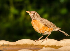 Robin (dbking2162) Tags: birds bird robin nature wildlife animal water muncie indiana outside