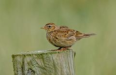 DSC0333  Skylark.. (jefflack Wildlife&Nature) Tags: skylark larks birds avian wildlife wildbirds songbirds moorland meadows fields countryside nature