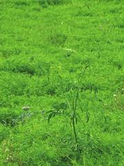 Grand ammi (L'herbier en photos) Tags: ombellifres apiaceae umbelliferae apiaces ammi majus grand greater false bishops weed ameo mayor lev commun villehardouin valdauzon val auzon aube champagne champagneardenne alsacechampagneardennelorraine orient fort dorient croit est grandest