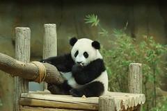 10-month-old (almost) Nuan Nuan 2016-06-17 (kuromimi64) Tags: zoonegara malaysia マレーシア 動物園 zoo nationalzoo zoonegaramalaysia kualalumpur クアラルンプール bear クマ 熊 panda giantpanda パンダ ジャイアントパンダ 熊猫 大熊猫 nuannuan 暖暖