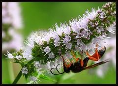 IMG_6878 Working Under the Hood 7-14-16 (arkansas traveler) Tags: wasps daubers dirtdauber insects bugs bichos flowers whitespikeflowers nature naturewatcher bokeh bokehlicious zoom telephoto