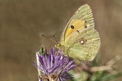 Colias crocea (Jaume Bobet) Tags: colias crocea lepidoptera pieridae mariposa innsecto macro bobet canon sigma