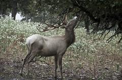 Sometimes the best is just out of reach! (Pejasar) Tags: deer antlers reach eat food green brown animal fur mammal cypressspringsranch texas