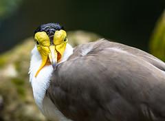 Bird (tomac_foto) Tags: bokeh portrait gaiazoo zoo tier 2016 vogel tiere outdoor