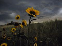 Unexpected Surprise (miss.interpretations) Tags: sunflower flower nature storm clouds skies castlerock mac canonpowershot yellow blues grass fields colorado denver