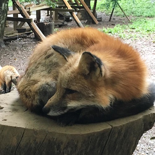 蔵王キツネ村なう。#foxvillage #zaoh