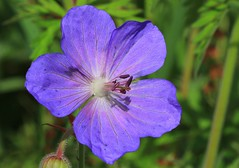 Meadow Cranesbill - Geranium pratense - Coombe Hill WT nature reserve Gloucs - 280616 (2) (ailognom2005-Catching up slowly.) Tags: flora flowers macro meadowcranesbill geraniumpratense coombehillwtnaturereserve gloucestershire wildlifetrust naturereserves naturalhistory wildflowers
