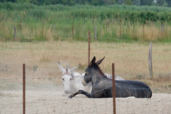 11072016-DSCF4913-2 (I Ring) Tags: sna equus africanus asinus donkey ne commun camargue juli 2016 france domestic fujifilm fuji xt1 animals