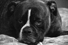 DSC_0146 (JablesPhotos) Tags: dog bulldog bulldogge bully olde english oeb cute puppy monochrome black white bw