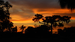 August 20th Sunset (Jim Mullhaupt) Tags: sunset sundown dusk sun evening endofday sky clouds color red gold orange pink yellow blue tree palm silhouette weather tropical exotic wallpaper landscape nikon coolpix p900 bradenton florida manateecounty jimmullhaupt cloudsstormssunsetssunrises photo flickr geographic picture pictures camera snapshot photography nikoncoolpixp900 nikonp900 coolpixp900 summer