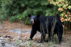 Maggie (Megan Lorenz) Tags: blackbear bear animal mammal nature wild wildlife wildanimals ontario canada mlorenz meganlorenz