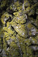 SUNLIT (Zapafaz) Tags: lichen tree bark macro nature closeup texture green grey white