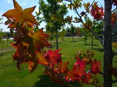 Colores de otoo (I) (elena m.d.) Tags: otoo rojo red hojas autum