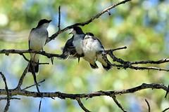 Eastern Kingbirds - Tyrannus tyrannus (jessica.rohrbacher) Tags: kingbird eastern bird avian fledgling tyrannus tyrannidae calgary alberta canada
