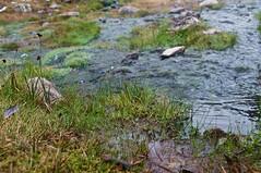 Conundrum creek (emily-mcb) Tags: hotspring colorado hike trail backpacking nature plants moss stream macro
