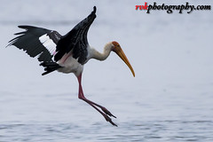 Painted Stork @ Pulicat Lake, India (rvk82) Tags: 2016 august2016 birdsanctuary birds india nature nikkor200500mm nikon nikond500 paintedstork photography pulicat pulicatbirdsanctuary pulicatlake rvk rvkphotography raghukumarphotography southindia tamilnadu wildlife rvkphotographycom karimanal andhrapradesh in ngc rvkonlinecom
