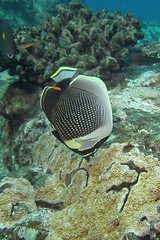 hunt and peck (BarryFackler) Tags: chaetodonreticulatus reticulatedbutterflyfish butterflyfish fish sealife vertebrate marinelife hawaii honaunaubay scuba creticulatus pacificocean saltwater 2016 ecology seacreature westhawaii water ecosystem reef tropical undersea underwater island life organism ocean polynesia outdoor konacoast pacific kona konadiving diver dive hawaiiisland hawaiicounty honaunau hawaiidiving hawaiianislands fauna diving sealifecamera sea southkona animal aquatic marine marinebiology marineecosystem marineecology nature barryfackler barronfackler bigisland bay biology being bigislanddiving coral creature coralreef zoology