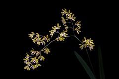 Encyclia fucata (peterb1504) Tags: encyclia fucata orchid orchidee flower blossom cuba