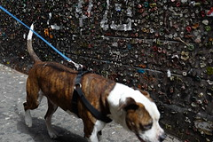 DOG Pulling Leash Past Textured Wall  L1160648 (Lynn Friedman) Tags: holland volendam dog chien pet leash walk wall texture friedman