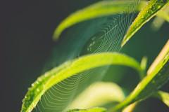Detected (Stadt_Kind) Tags: mostinteresting popular flickr new germany bavaria kempten stadtkind sonyfe2890macrogoss sonyilce7 outdoor schrfentiefe bokehaddicts bokehlicious bokeh depthoffield doflicious dof morgen morning spinne spider spinnennetz netz spiderweb web